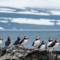 Atlantic puffins on Vigur Island in Iceland.