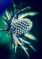 Sea Holly - Eryngium Maritimum