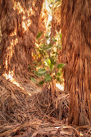 A young native desert fan palm emerges from the Coachella Valley Oasis in the shade of hundreds of other fan palms that reach nearly 50' high. Thanks to the San Andreas Fault, overwhich this small oasis lies and takes advantage of the cracks in the earth deep below from which groundwater seeps.