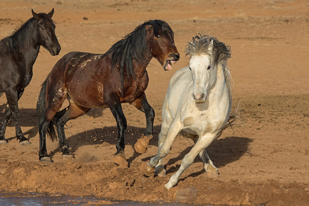 These mustang stallions got a little too close for comfort  when jockeying for position around the waterhole.