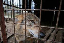 ROMANIA ONESTI 28OCT12 - A Eurasian wolf in captivity at the Onesti zoo.  ..The zoo has been shut down due to non-adherence with EU regulations on the welfare of animals.......jre/Photo by Jiri Rezac / WSPA......© Jiri Rezac 2012