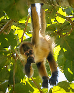 Spider monkey juvenile in an aguacatillo tree eating a fruit from the tree, which is known as wild avocado. © 2016 David A. Ponton
