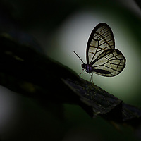 The shady understory of the Ecuadorian rainforest hosts a great diversity of butterflies that are adapted specifically for this dimly lit ecosystem. Although we often rank butterflies on how gaudy and beautiful their wings patterns are, among the most remarkable of the understory are those that bear transparent wings, such as this Glasswing Butterfly (Dulcedo polita). When perched under the right conditions they can appear almost invisible. Canandé Reserve, Ecuador.