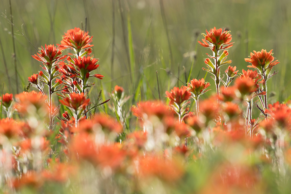 Scarlet Indian Paintbrush, Castilleja coccinea, Mackinac County, Michigan
