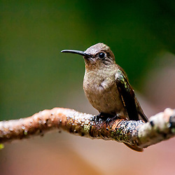 """Beija-flor-cinza (Aphantochroa cirrochloris) fotografado em Santa Teresa, Espírito Santo -  Sudeste do Brasil. Bioma Mata Atlântica. Registro feito em 2013.<br /> <br /> <br /> <br /> ENGLISH: Sombre Hummingbird photographed in Santa Teresa, Espírito Santo - Southeast of Brazil. Atlantic Forest Biome. Picture made in 2013."""