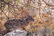 The Scrub hare (Scrub Hare (Lepus saxatilis) is one of two subspecies of hare found in southern Namibia, Mozambique, South Africa and Swaziland and Lesotho. The species is endemic to southern Africa and has not been seen in any other geographic locations around the world.