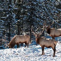 bull elk feeding though the snow on grass, glacier national park