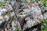 Norway, Vesteraalen. Nykvåg is a small village in Bø, in Vesterålen. Nykvåg is known for its rich bird life. Black-legged Kittiwakes nesting in a cliff wall.