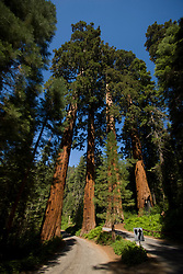 A group of Giant Sequoia trees (Sequoidadendron giganteum) grows along the Generals Highway in the Giant Forest section of Sequoia National Park, California, USA.