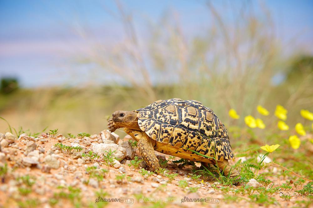 A Leopard Tortoise (Geochelone pardalis), Kgalagadi Transfrontier Park, South Africa.