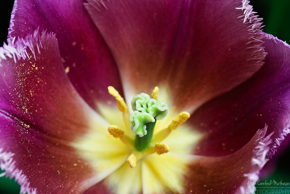 Tulipa 'Talitha' Keukenhof Spring Tulip Gardens, Lisse, The Netherlands.