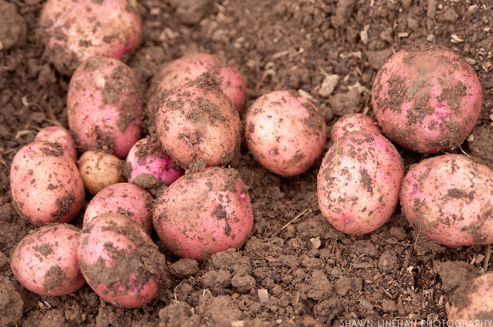 Red potatoes recently dug up from the garden.
