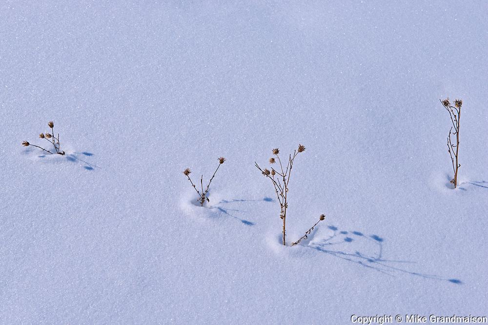 Plants in snow<br />Birds Hill Provincial Park<br />Manitoba<br />Canada