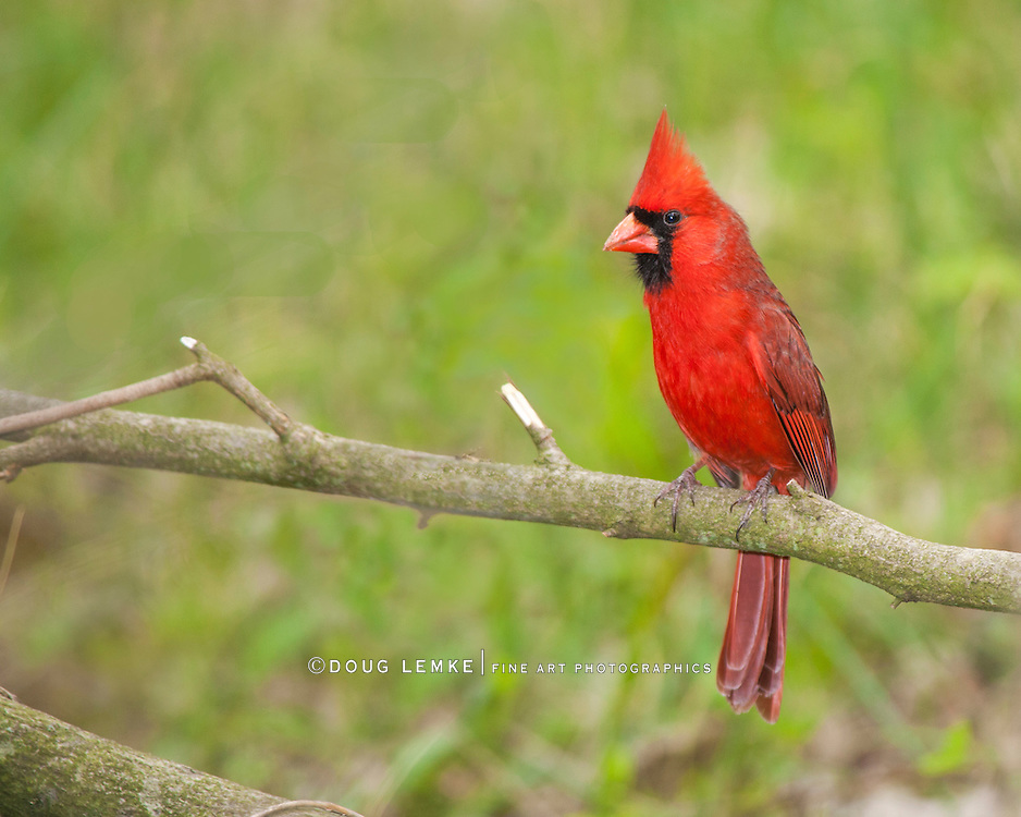 A Red Bird, The Northern Cardinal, Male, Cardinalis cardinalis