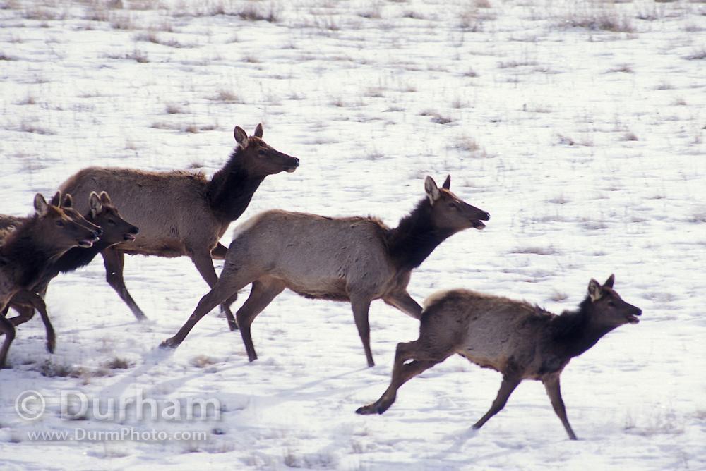 Elk (Cervus elephus nelsoni) running on The Nature Conservancy's Zumwalt Prairie Preserve in NE Oregon.