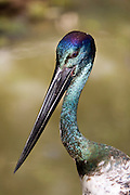 Black-necked stork, Queensland, Australia