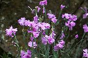 Pfingst-Nelke (Dianthus gratianopolitanus), Naturschutzgebiet am Edersee, Nordhessen, Hessen, Deutschland | carnation (Dianthus gratianopolitanus), nature reserve on Lake Eder, Hesse, Germany