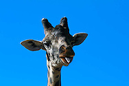 A giraffe sticks out its tongue at the San Diego Zoo