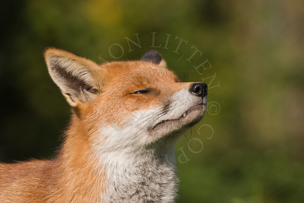 Red Fox (Vulpes vulpes) adult sniffing air. Captive.