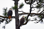 A pair of bald eagles perched in a ponderosa pine at Higgins Point along Lake Coeur d' Alene during the Kokanee spawn in December. Kootenai County, North Idaho.