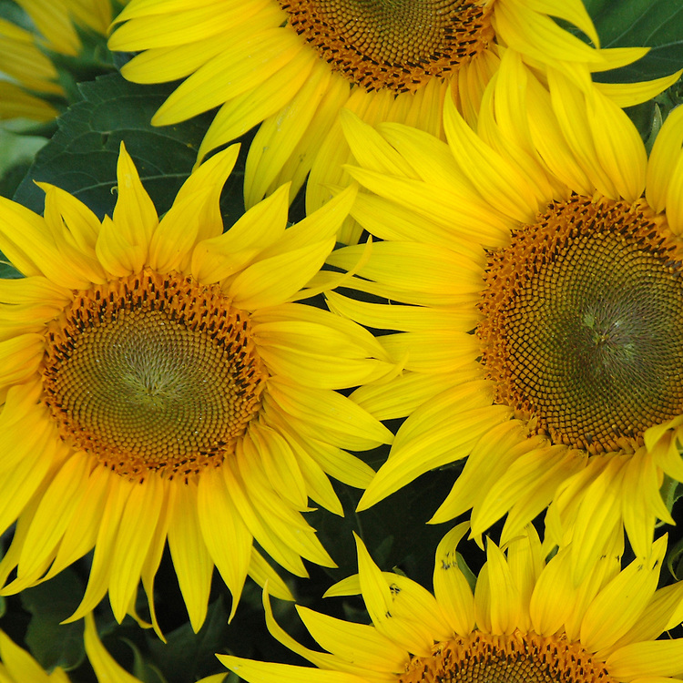 HELIOPSIS (SUNFLOWER)