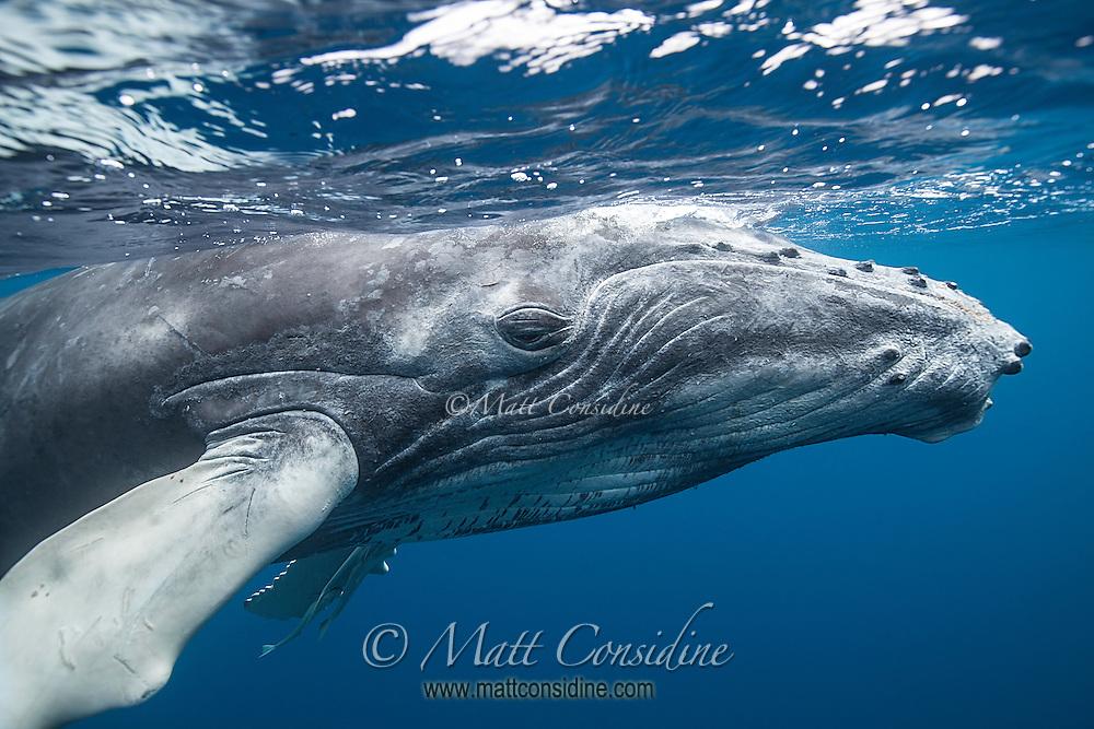 Humpback whale glides past. (Photo by Underwater Photographer Matt Considine)