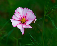 Cosmos Flower. Image taken with a Nikon D810a camera and 105 mm f/1.4 lens
