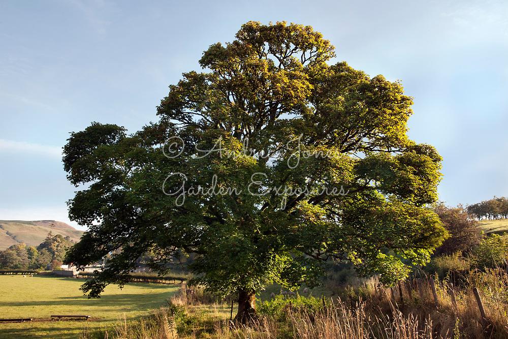 Acer pseudoplatanus (sycamore)