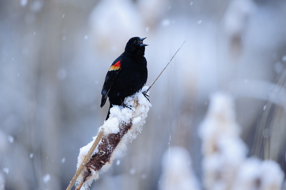 A red-winged blackbird sings for a mate during an early Spring snowfall, Missoula, Montana