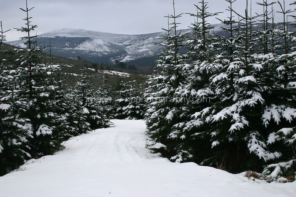 Snow covered trees, Wicklow, Ireland