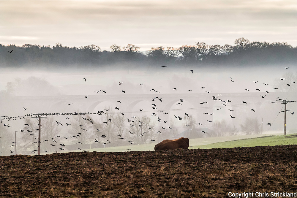 Roxburgh, Kelso, Scottish Borders, UK. 12th January 2018. Pigeons fly from a stubble field near the village of Roxburgh, which was an important trading burgh in High Medieval to early modern Scotland, and for a time acting as de facto capital (as royal residence of David I).