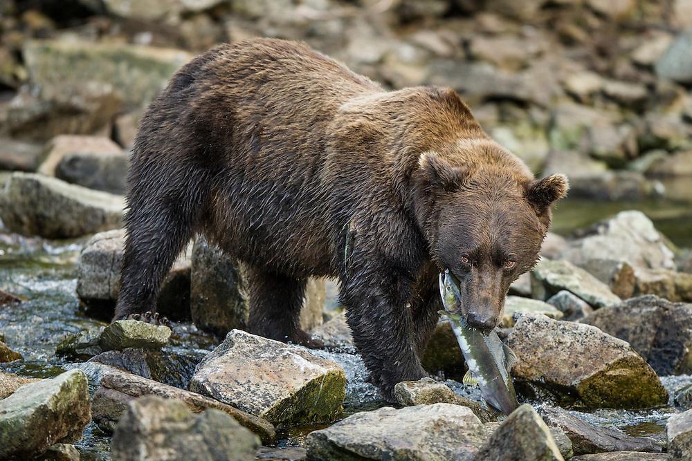 USA, Alaska, Katmai National Park, Coastal Brown Bear (Ursus arctos) bites into Pink Salmon in stream along Kuliak Bay