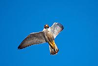 Perigrine Falcon on Isla Rasa in the Sea of Cortez, Baja California, Mexico.