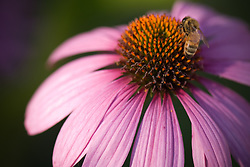A bee extracts pollen from a purple coneflower