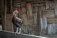 A chicken stands on a fence in Pai, Thailand.