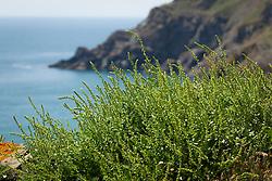 Sea Beet, Sea Spinach. Beta vulgaris subsp. maritima growing on the cliffs on The Lizard peninsula, Cornwall