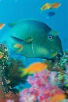 A steephead parrotfish (Scarus microrhinos) nibbling on algae encrusted coral.