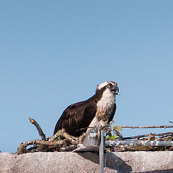 Osprey (Pandion haliaetus) on Nest on Castine Harbor Monument, Castine, Maine, US