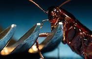 Deu, Deutschland: Amerikanischen Schabe (Periplaneta americana) klettert auf einer Gabel | Deu, Germany: American cockroach (Periplaneta americana) climbing a fork |