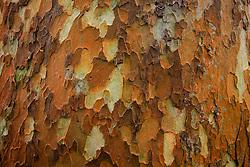 NEW ZEALAND WAHANGAPARAOA 13DEC07 - Colourful bark of tropical tree on Wahangaparaoa peninsula north of Auckland...jre/Photo by Jiri Rezac..© Jiri Rezac 2007..Contact: +44 (0) 7050 110 417.Mobile:  +44 (0) 7801 337 683.Office:  +44 (0) 20 8968 9635..Email:   jiri@jirirezac.com.Web:    www.jirirezac.com..© All images Jiri Rezac 2007 - All rights reserved.