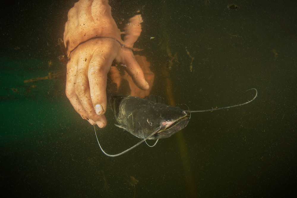 A young wels catfish (Silurus glanis) caught in a fyke net is released back to the shallow and turbid lake by the fisherman, Danube Delta, Romania. Wels catfish can live for at least thirty years and have very good hearing.