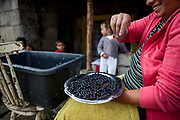 Blue berry season - families can earn some money with collecting blue berries and selling them to customers in the city. The town of Stara Lubovna has a population of 16350, of whom 2 060 (13%) are of Roma origin. The majority of Roma live in the Podsadek district, where 980 (74%) out of 1330 inhabitants are Roma.