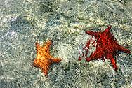 Starfish in Cayos Ana Maria, Ciego de Avila, Cuba.