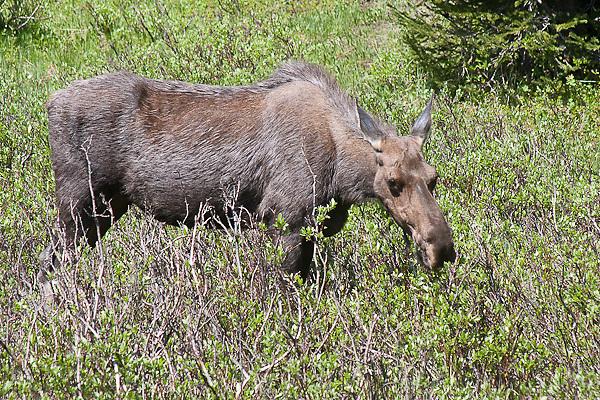 Cow moose (Alces alces shirasi) browsing on willow leaves.  Rocky Mountain National Park, Colorado, USA