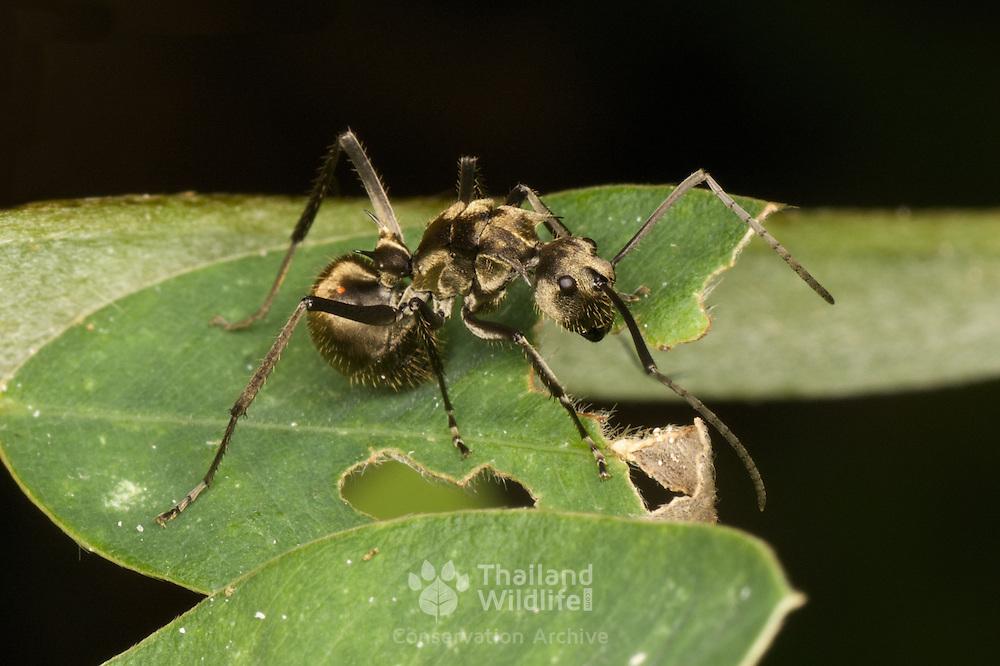 Polyrhachis sp. ant. Khao Yai National Park, Thailand.