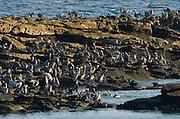 Sea shore crowded with Brown Pelicans (Pelecanus occidentalis carolinensis). Pacheca Island, Las Perlas Archipelago, Panama, Central America.