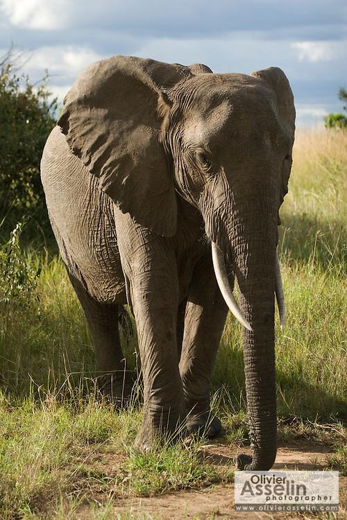 African elephant, Masai Mara, Kenya