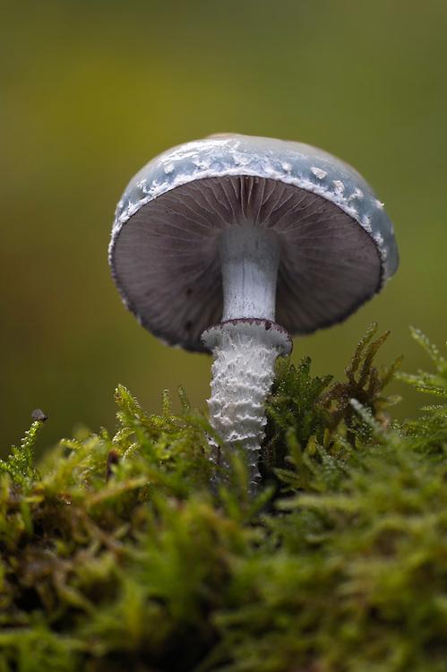 Ringed-blue Roundhead, Verdigris agaricin moss. Details mushroom gills visable.
