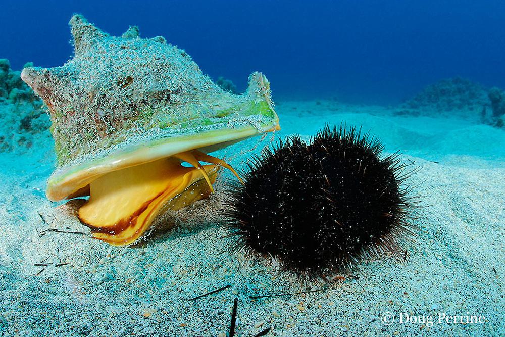 horned helmet shell or pu puhi, Cassis cornuta, probes a collector urchin or hawa e maoli, Tripneustes gratilla, with its two long chemosensory tentacles, Honokohau, Kona, the Big Island, Hawaii, USA ( Central Pacific Ocean ) 2 in sequence of 4