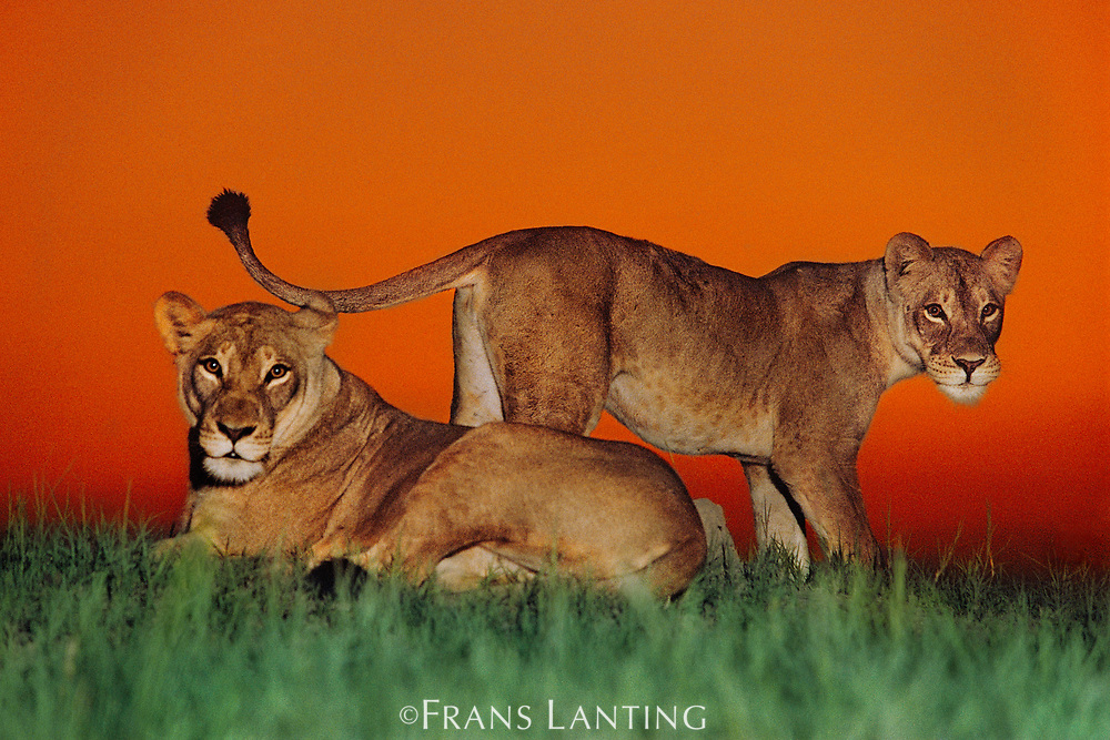 Lionesses alerted, Chobe National Park, Botswana